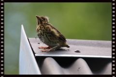 Singdrossel Jungvogel auf Schuppendach