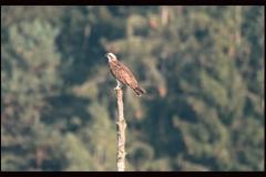 Fischadler am Drachensee