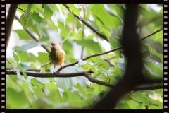 Junger Grünfink zu Gast