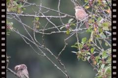 Zwei Neuntöter Weibchen