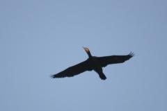 Kormoran Altvogel