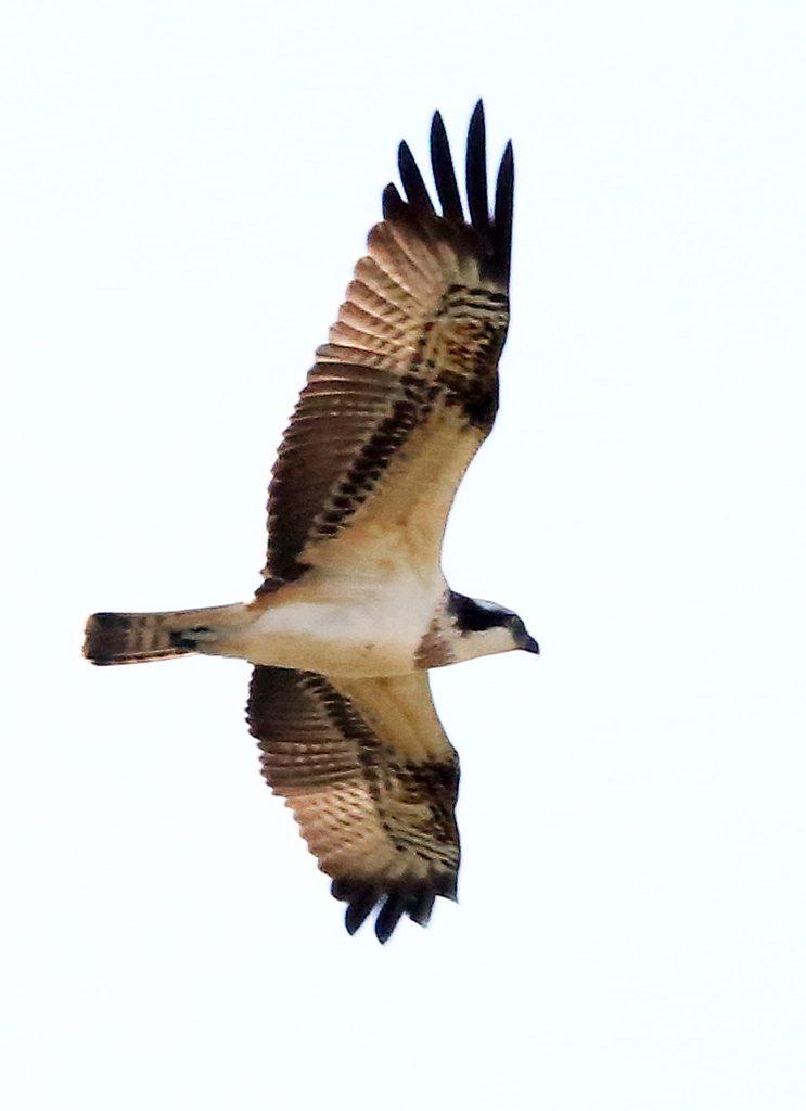 Fischadler (1)