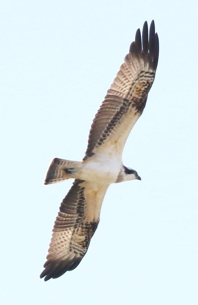 Fischadler (4)