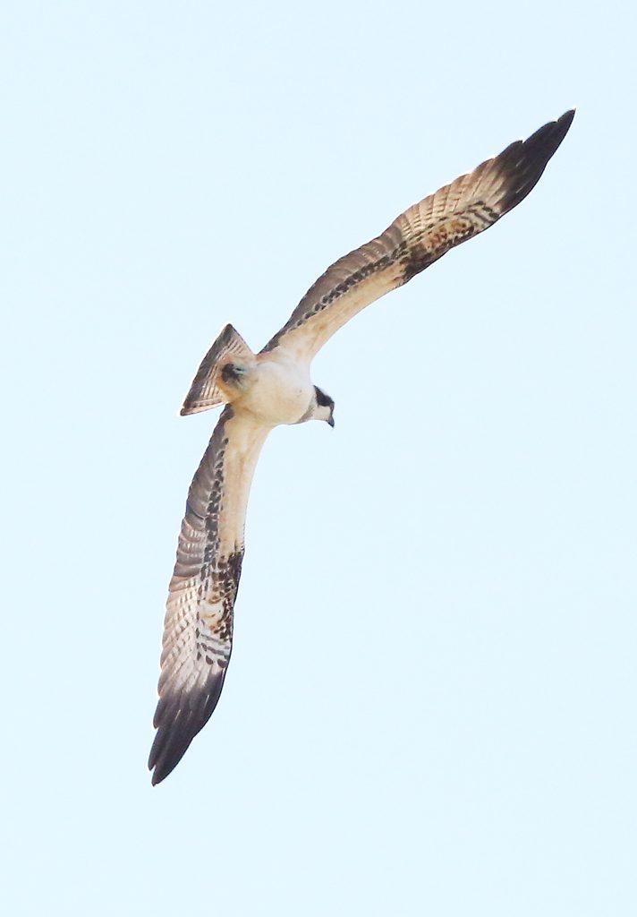 Fischadler (5)