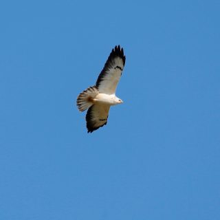 schwerster flugfähiger vogel