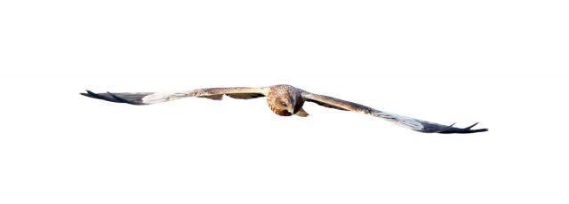 Rohrweihe (3)