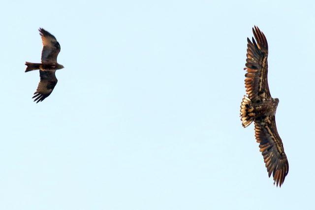 Rotmilan mit Seeadler (1)