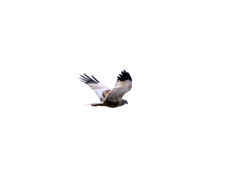 31Rohrweihe (2)
