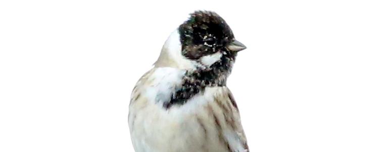 Rohrammer (2)