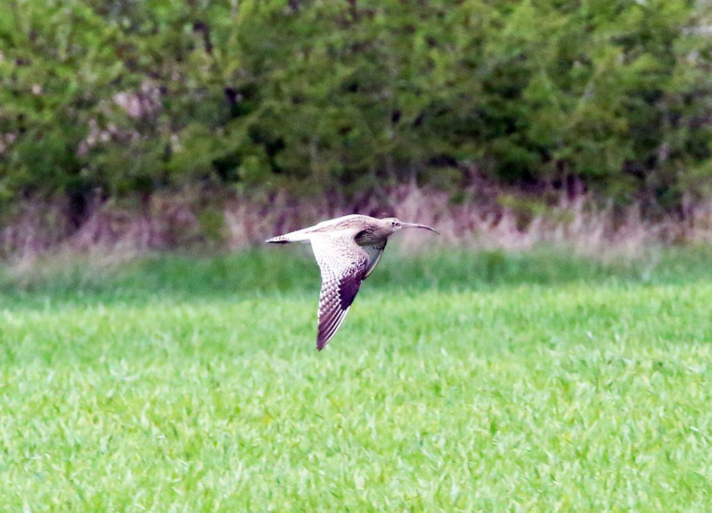 Großer Brachvogel (2)