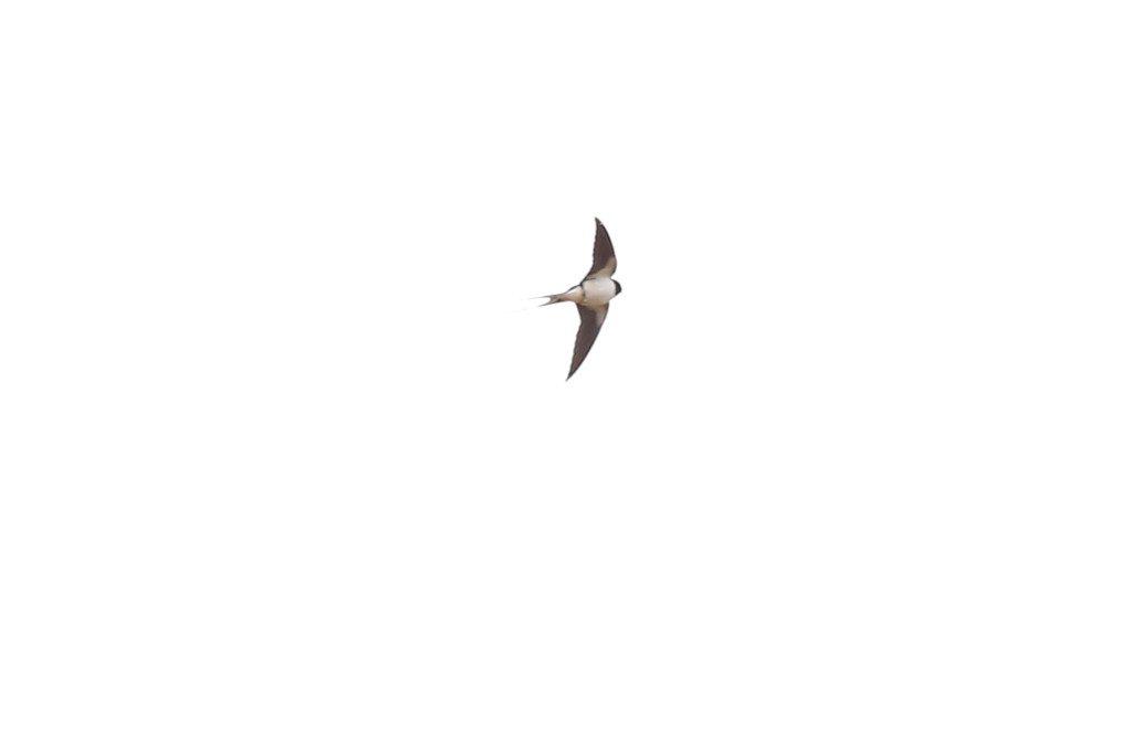 Rauchschwalbe_20160516_01