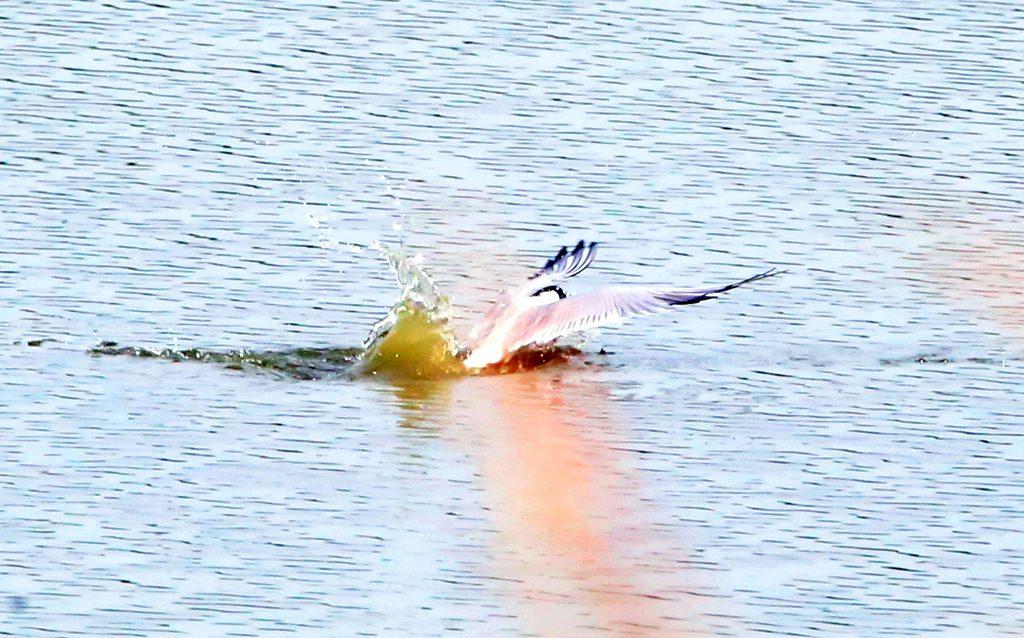 Flussuferschwalbe (2)a