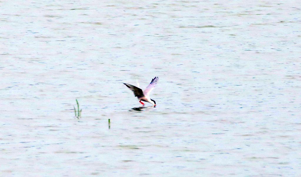 Flussuferschwalbe (4)a