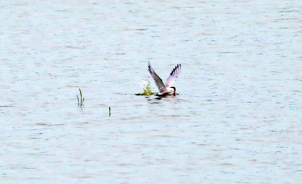 Flussuferschwalbe (5)a