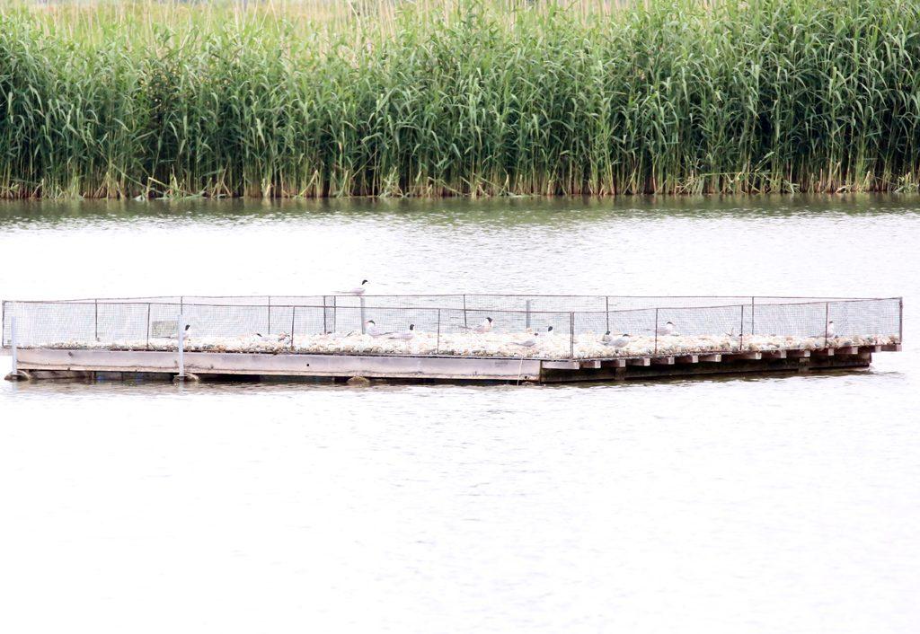 Flussuferschwalbena