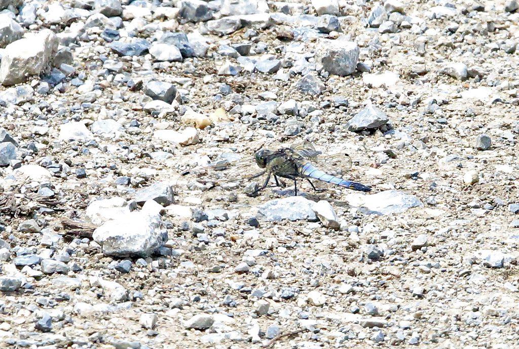 Spitzenfleck Libellea