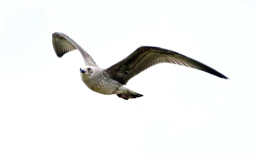 Mantelmöwelangelacke (12)