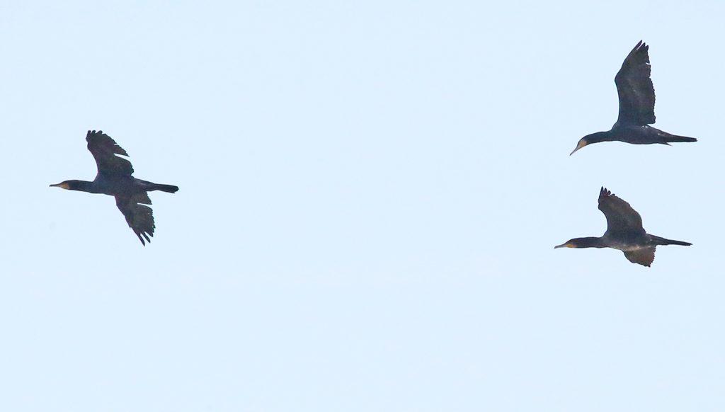 kormorane1