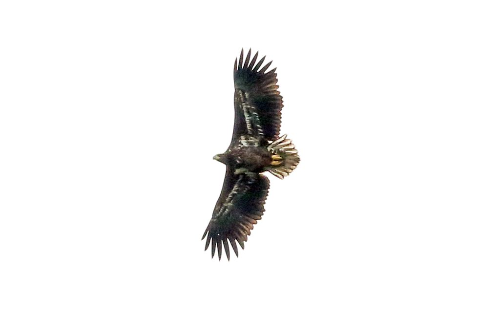 Seeadler (3)