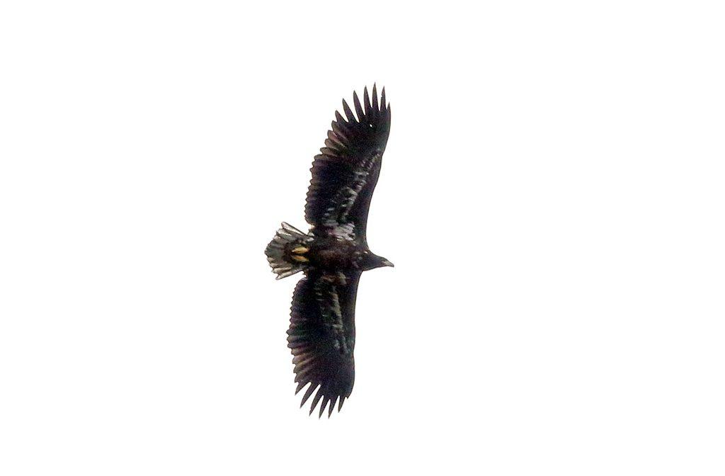 Seeadler (4)