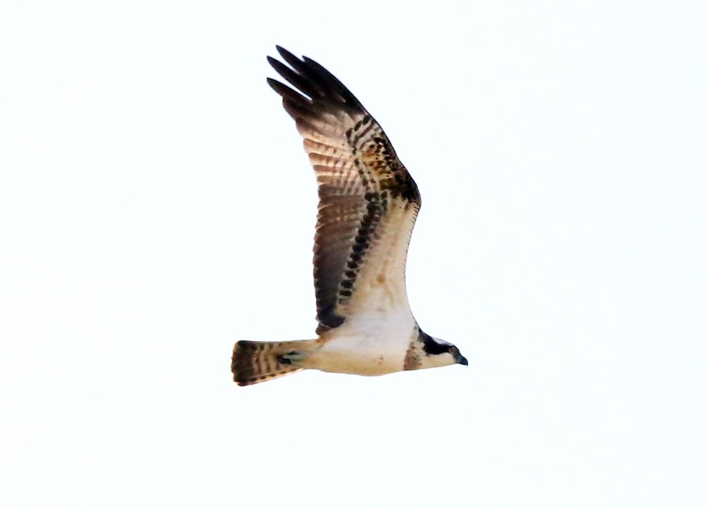 Fischadler (2)