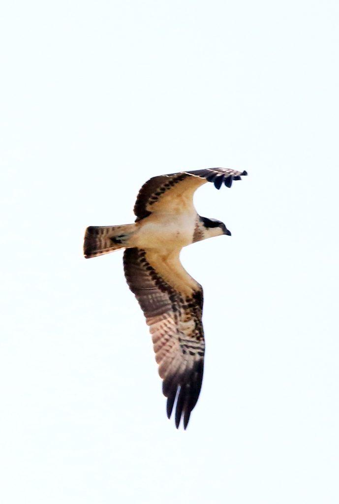 Fischadler (3)