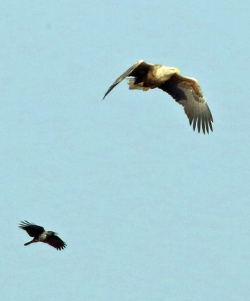 Seeadler mit Nebelkrähe
