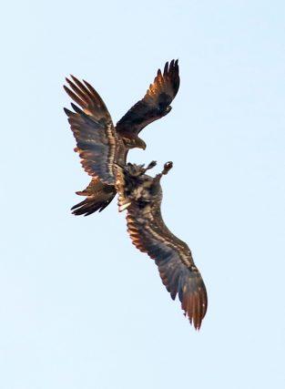 Rotmilan mit Seeadler (2)