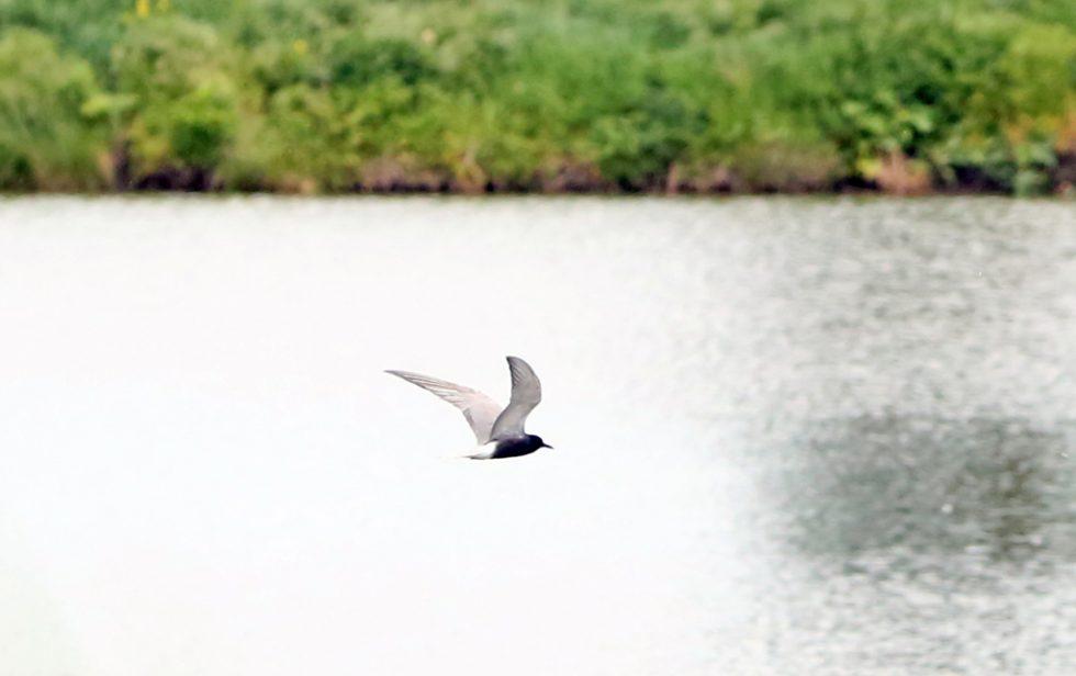 08Trauerseeschwalbe (4)