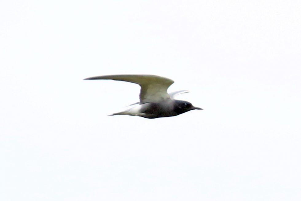 08Trauerseeschwalbe (2)
