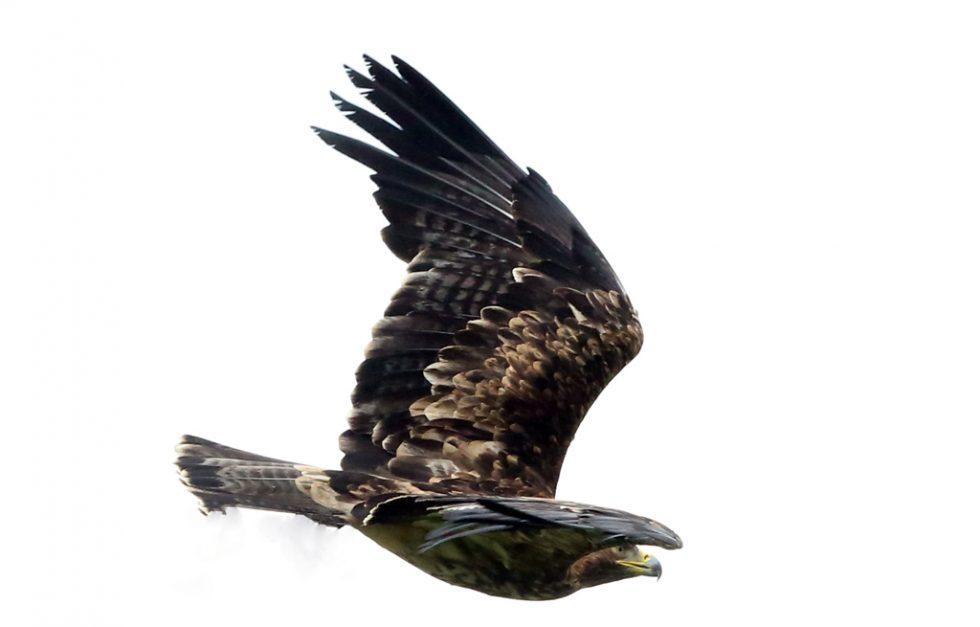 Kaiseradler (4)